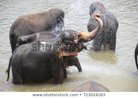 elephants bathing in river stock photo © mikko