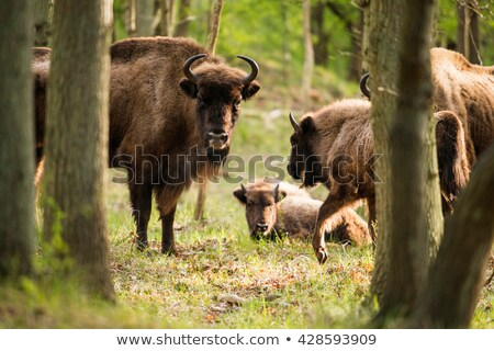 Stock photo: European bison bull and calf