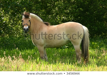 Norwegian Fjordhorse Stock photo © vanTienen