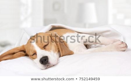 Uyku köpek yorgun okumak gazete eğlence Stok fotoğraf © IMaster