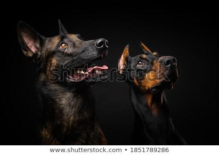 Hondenras doberman bruin kleur zwarte studio Stockfoto © goroshnikova