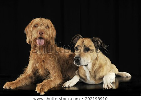 Stock photo: Staffordshire Terrier and a hungarian vizsla lying in black stud
