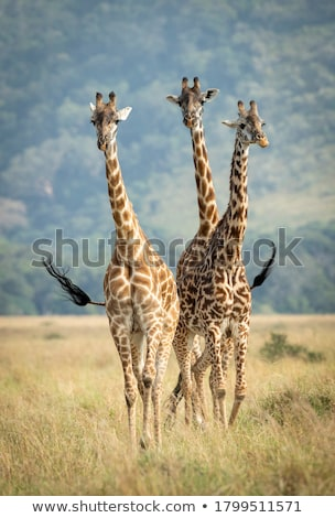 Giraffes walking towards the camera. Stock photo © simoneeman