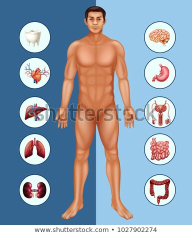 Diagram showing human man and different organs Stock photo © bluering