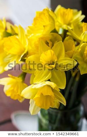 Tavasz citromsárga nárciszok három törékeny közelkép Stock fotó © zhekos