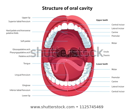 Human Mouth Anatomy on White Background Stock photo © bluering