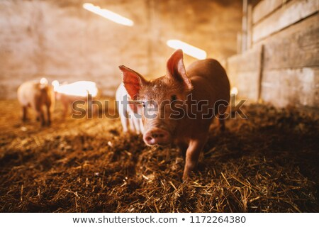 Pigs playing in mud farm scene Stock photo © bluering