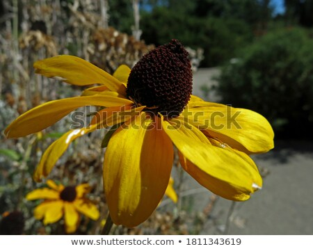 Rudbeckia flower blooms among other yellow flowers Stock photo © sarahdoow