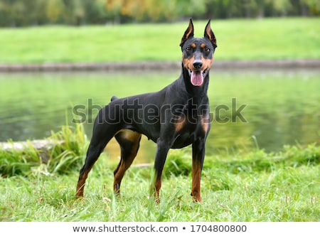 pinscher in nature Stock photo © cynoclub
