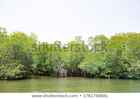 jungle mangrove lagoon palm tree jungle Stock photo © lunamarina