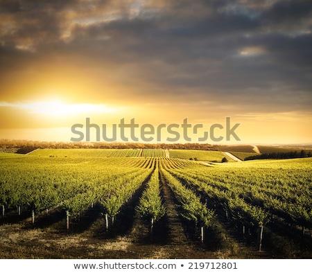 красивой вино винограда виноградник фермы после полудня Сток-фото © feverpitch