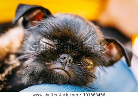 Close portrait of an adorable Griffon Bruxellois Stock photo © vauvau