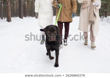 молодые черный ретривер привязь ходьбе снега Сток-фото © pressmaster