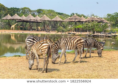 Zebra dierentuin Bangkok safari wereld zomer Stockfoto © bloodua