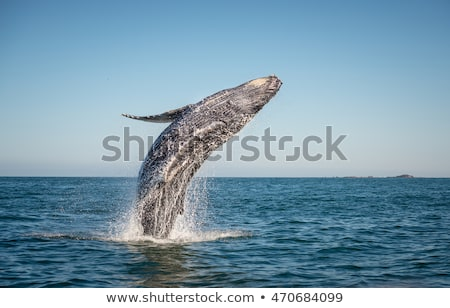 humpback whale jumping out of the water stock photo © konart