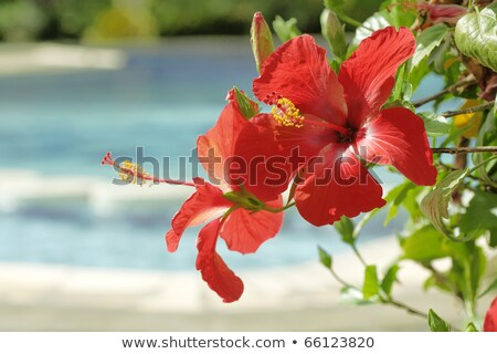 hibiscus flower in by the pool with stock photo © neirfy