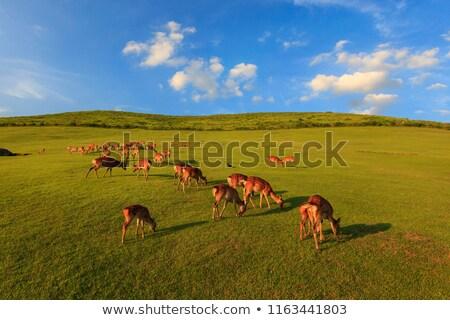 剛毛 · 草 · 草原 · 日本 · フィールド · アジア - ストックフォト © smithore