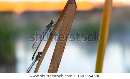Libélula verde animal asas belo inseto Foto stock © saje
