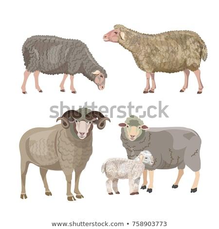 Szett kos birka farm portré állat Stock fotó © perysty