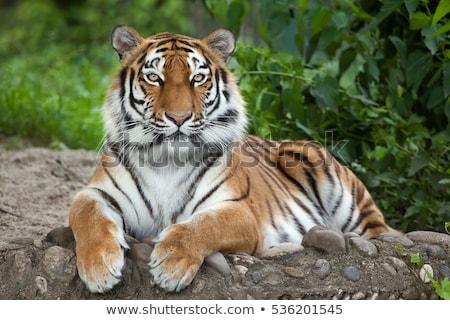 Tigre visage yeux orange portrait Afrique Photo stock © arturasker