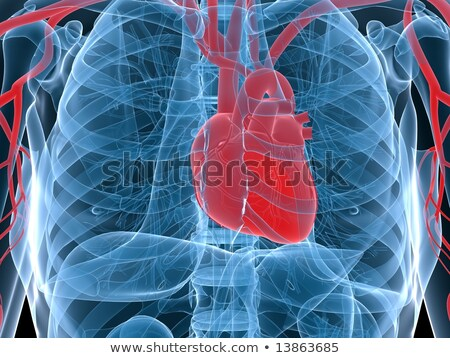 human heart circulation in a skeleton stock photo © lightsource