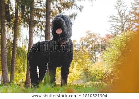 Black Russian Terrier Stock photo © silense