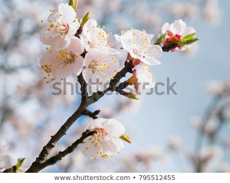 Kwitnienia morela drzewo słońce niebieski kwiat Zdjęcia stock © Leonardi