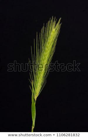 Falso cevada erva daninha imagem raso Foto stock © stevanovicigor