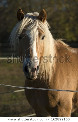 beautiful blond cruzado horse outside horse ranch field Stock photo © juniart