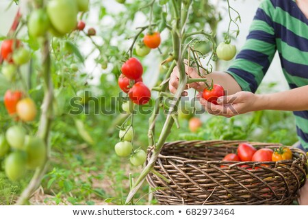 freshly picked home garden tomatoes stock photo © tab62