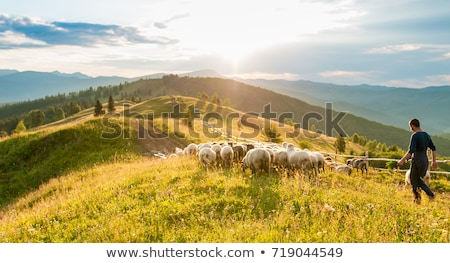 sheeps in countryside grazing pacefully Stock photo © Giulio_Fornasar