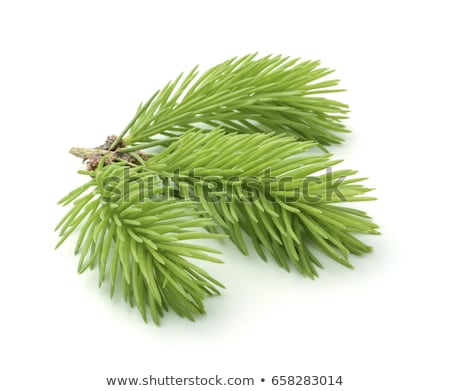 Sprig of young spruce Stock photo © Valeriy