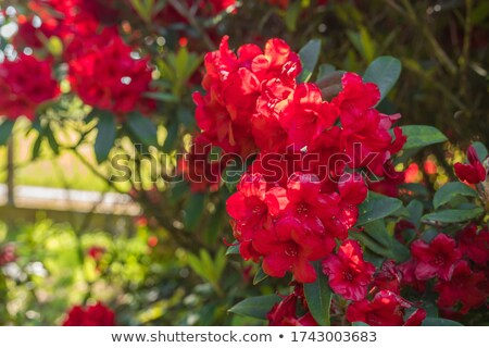 Blooming rhododendron bushes in the mountains  Stock photo © Kotenko