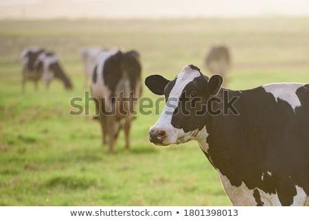 Single Holstein cow Stock photo © tilo
