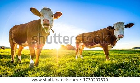 tehén · feketefehér · mező · arc · kék · farm - stock fotó © meinzahn