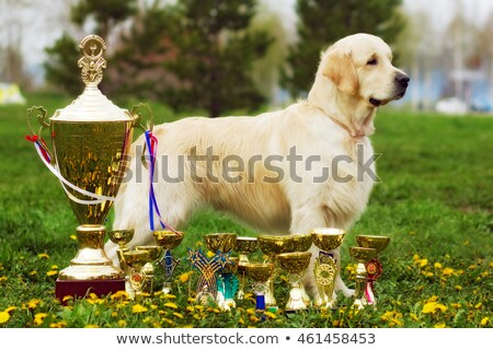 beautiful purebred dog Golden-Retriever stands with cups and pri Stock photo © goroshnikova