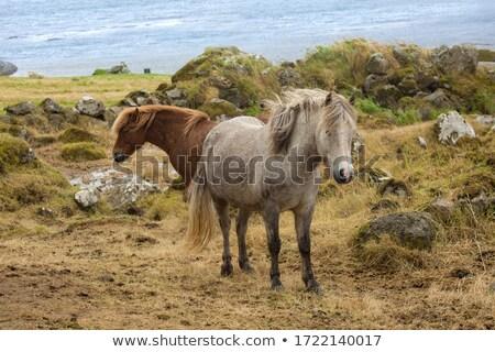 Brown Icelandic horse eats grass Stock photo © kb-photodesign