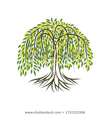 Fűzfa fa színes rajz illusztráció vektor Stock fotó © derocz