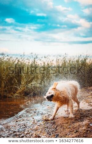 Nat golden retriever hond Stockfoto © vtls
