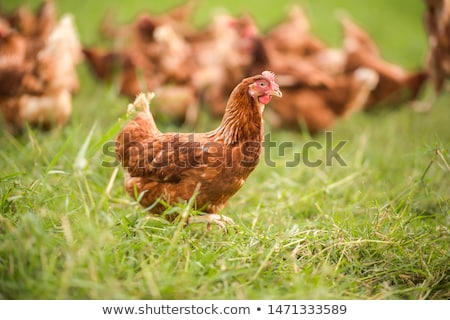 poulet · prairie · herbe · nature · usine · animaux - photo stock © IS2