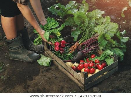 ジャガイモ · 手 · 男 · 地球 · 食品 - ストックフォト © is2
