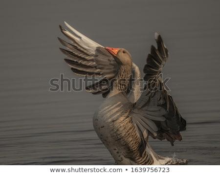 fehér · liba · repülés · égbolt · illusztráció - stock fotó © bdspn