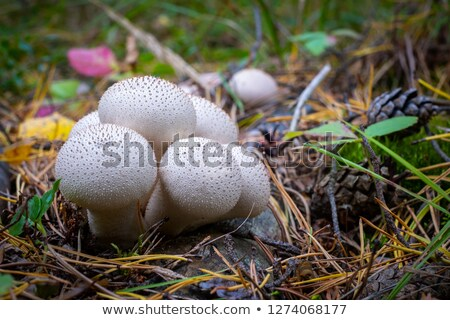 Stock photo:  Lycoperdon perlatum.
