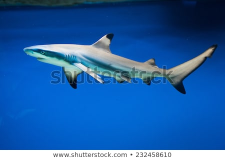 A blacktip reef shark Stock photo © bluering