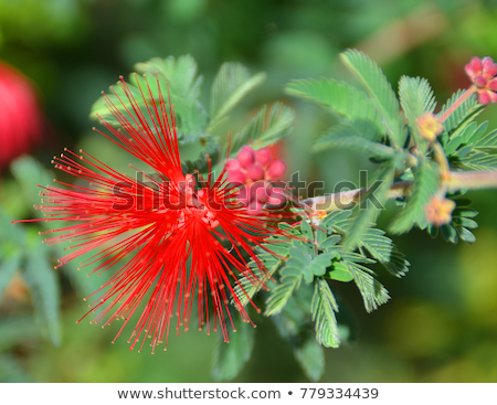 Baja Fairy Duster flower Stock photo © backyardproductions