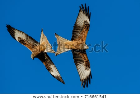 red kite milvus milvus in flight against blue sky stock photo © lightpoet