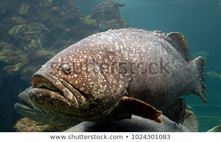 Giant grouper or Queensland grouper in tank. Stock photo © galitskaya