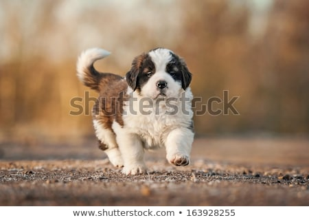 Young Saint Bernard Puppy on White Background Stock photo © tobkatrina