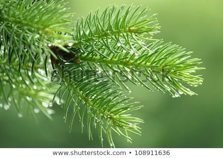 raindrops on pine needles stock photo © hitdelight