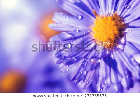 Many beautiful puple daisies in garden Stock photo © elly_l